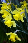 daffodils in bloom, st. jacques, newfoundland