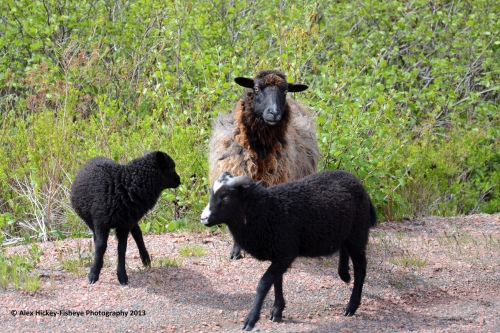 one adult black sheep and two black lambs standing on the side of the road